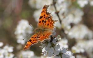 Robert le Diable, une marge postérieure brun-cendré, comme si les ailes s'étaient consumées / Un jardin dans le Marais poitevin.