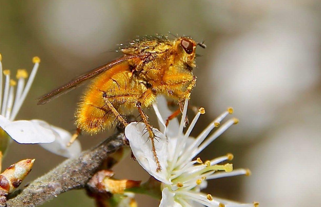 Mouche stercoraire, mâle, sur prunelier en fleurs.