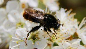 Criorhina ranunculi sur fleur de prunellier.