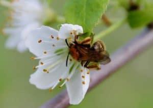 Andrène haemorrhoa, actif butineur, ici sur une fleur de prunellier / Un jardin dans le Marais poitevin.