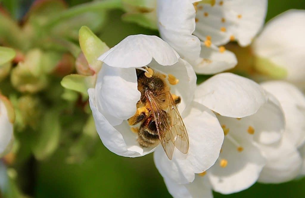 Abeille sur premières fleurs de cerisier / Un jardin dans le Marais poitevin.