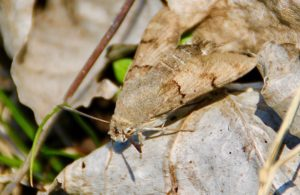 Moro sphinx au repos sur feuilles mortes / Un jardin dans le Marais poitevin.