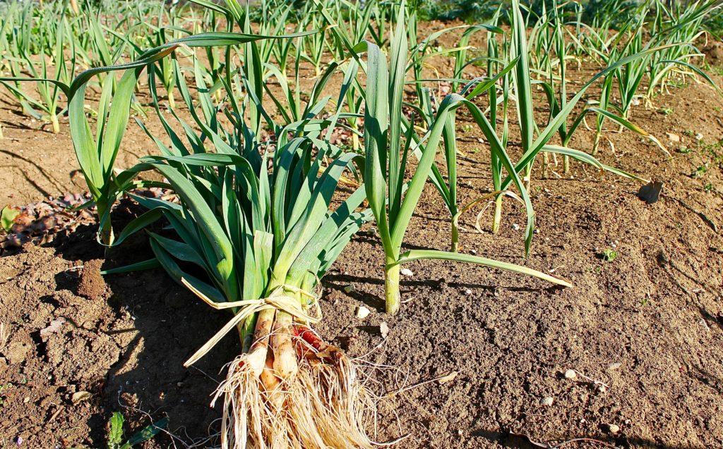 Ail vert : la récolte avant l'omelette / Un jardin dans le Marais poitevin.