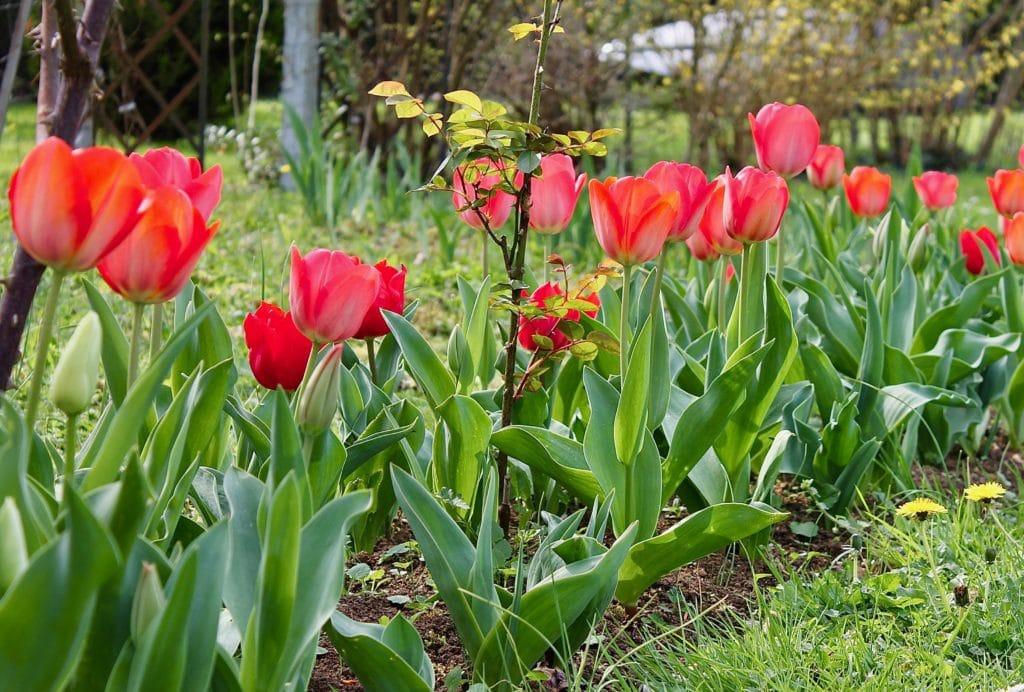 Platebande de tulipes / Un jardin dans le Marais poitevin.