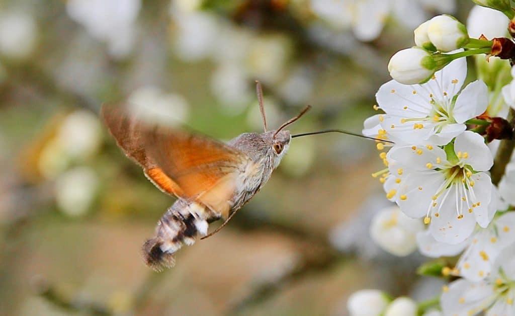 Moro sphinx en vol stationnaire sur mirabellier en fleurs / Un jardin dans le Marais poitevin.