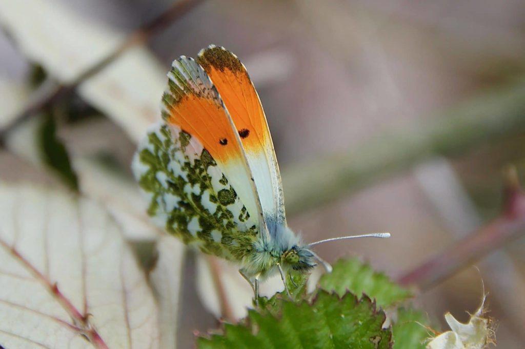 Aurore, mâle, au repos sur une feuille de ronde / Un jardin dans le Marais poitevin.