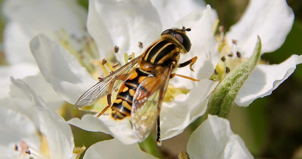 Hélophile suspendu sur fleur de poirier / Un jardin dans le Marais poitevin.