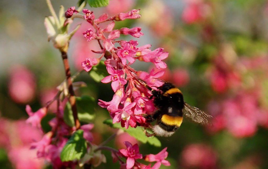 Bourdon terrestre sur cassis-fleur / Un jardin dans le Marais poitevin.