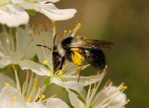 Andrène cendré, pattes arrière chargées de pollen / Un jardin dans le Marais poitevin.