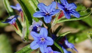 Grémil bleu-pourpre, corolle à cinq lobes en forme de long entonnoir / Un jardin dans le Marais poitevin.