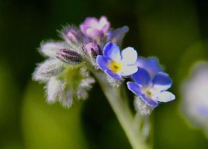 Myosotis des champs : des fleurs bleues deux fois plus petites que celles du Myosotis des marais / Un jardin dans le Marais poitevin.