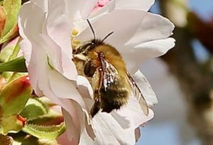 Anthophore plumeuse sur fleur de Prunus serrulata / Un jardin dans le Marais poitevin.