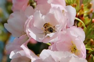 Mouche éristale sur fleur de Prunus serrulata / Un jardin dans le Marais poitevin.