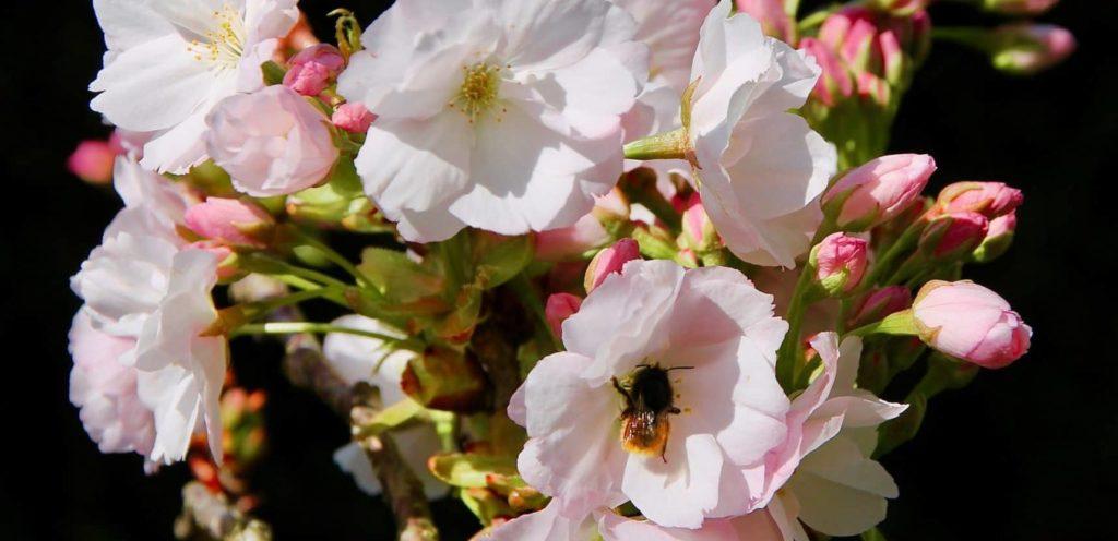 Osmie cornue sur fleur de Prunus serrulata / Un jardin dans le Marais poitevin.