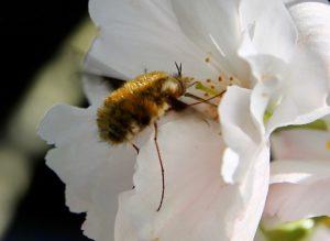 Grand bombyle sur fleur de Prunus serrulata / Un jardin dans le Marais poitevin.