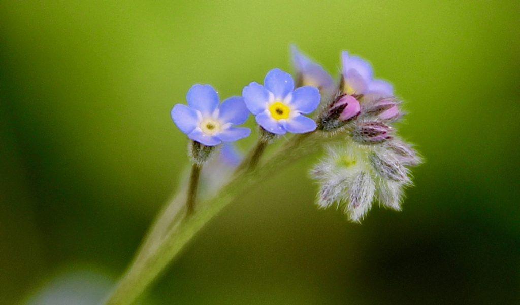 Myosotis des champs, enroulement des boutons de la grappe florale / Un jardin dans le Marais poitevin.