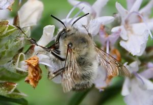 Anthophore plumeuse sur fleur de romarin / Un jardin dans le Marais poitevin.
