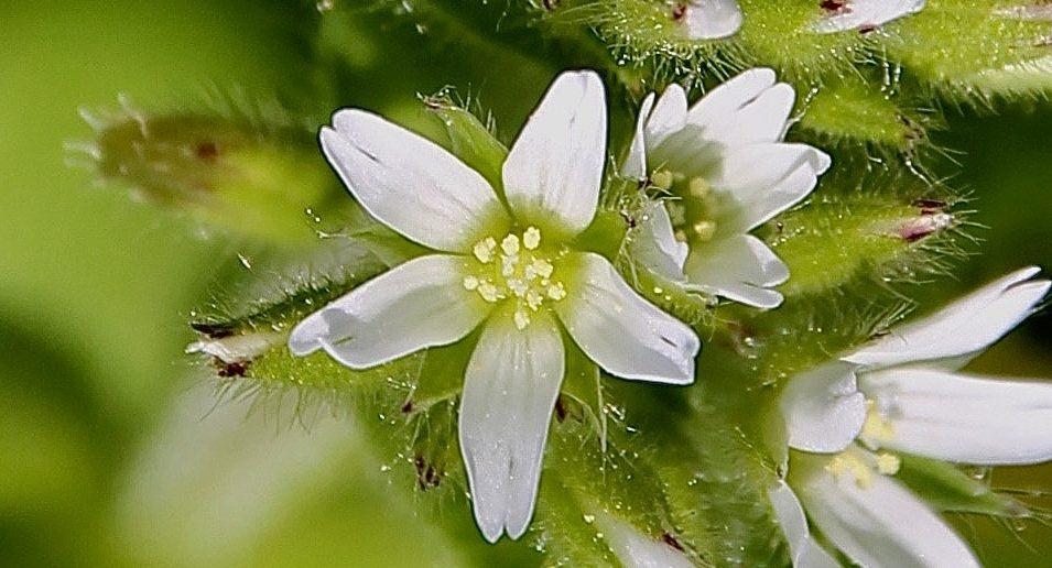 Fleur du Céraistre : cinq pétales blancs échancrés, cinq styles cernés par dix étamines / Un jardin dans le Marais poitevin.