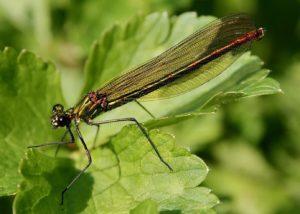 Galoptéryx éclatant, femelle / Un jardin dans le Marais poitevin.