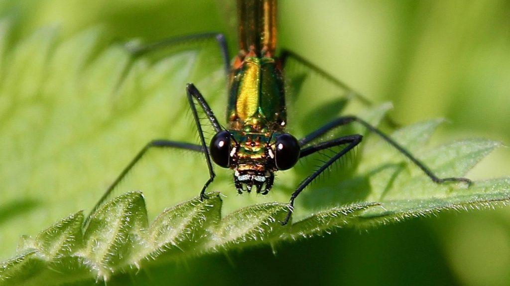 Caloptéryx éclatant, femelle / Un jardin dans le Marais poitevin.