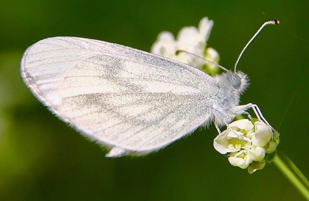 Piéride de la moutarde, réseau grisé au revers des ailes, pointe des antennes orangé, pattes blanches et yeux bleu-gris / Un jardin dans le Marais poitevin.
