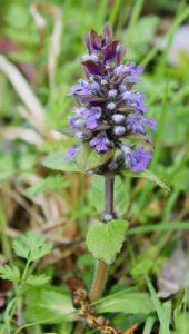 Épi floral de la Bugle rampante / Un jardin dans le Marais poitevin.
