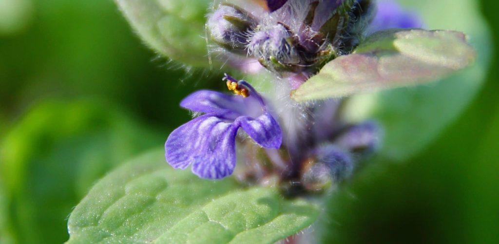 Bugle rampante, fleur. La lèvre supérieure est à peine visible, laissant étamines et styles sans protection / Un jardin dans le Marais poitevin.