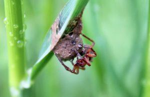 L'enduit de boue protège également l'encrage du cocon au brin d'herbe / Un jardin dans le Marais poitevin.