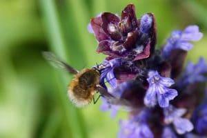 Grand bombyle sur fleur de Bugle rampante / Un jardin dans le Marais poitevin.