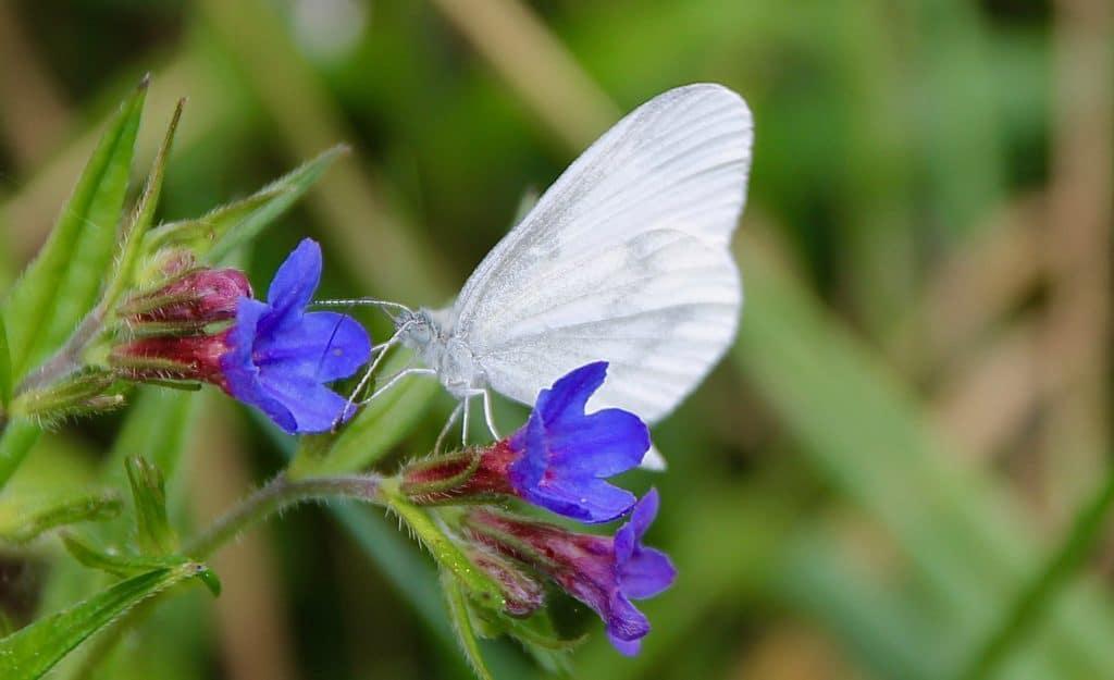 La Piéride de la moutarde sur fleur de Grémil pourpre bleu / Un jardin dans le Marais poitevin.