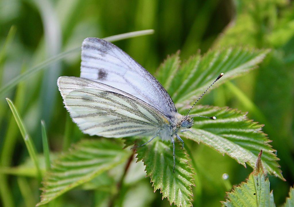 La Piéride du navet : sur fond jaune pâle, les nervures sont largement saupoudrées de gris-vert au revers des ailes / Un jardin dans le Marais poitevin.