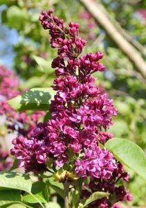 Lilas en fleurs, des grappes rose-carmin merveilleusement parfumées / Un jardin dans le Marais poitevin.