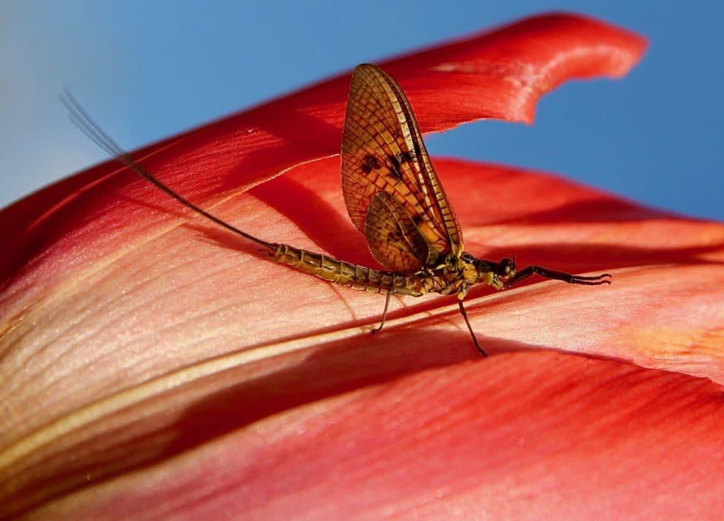 La Grande éphémère, alias la Granche mouche de mai, sur une fleur de tulipe / Un jardin dans le Marais poitevin.