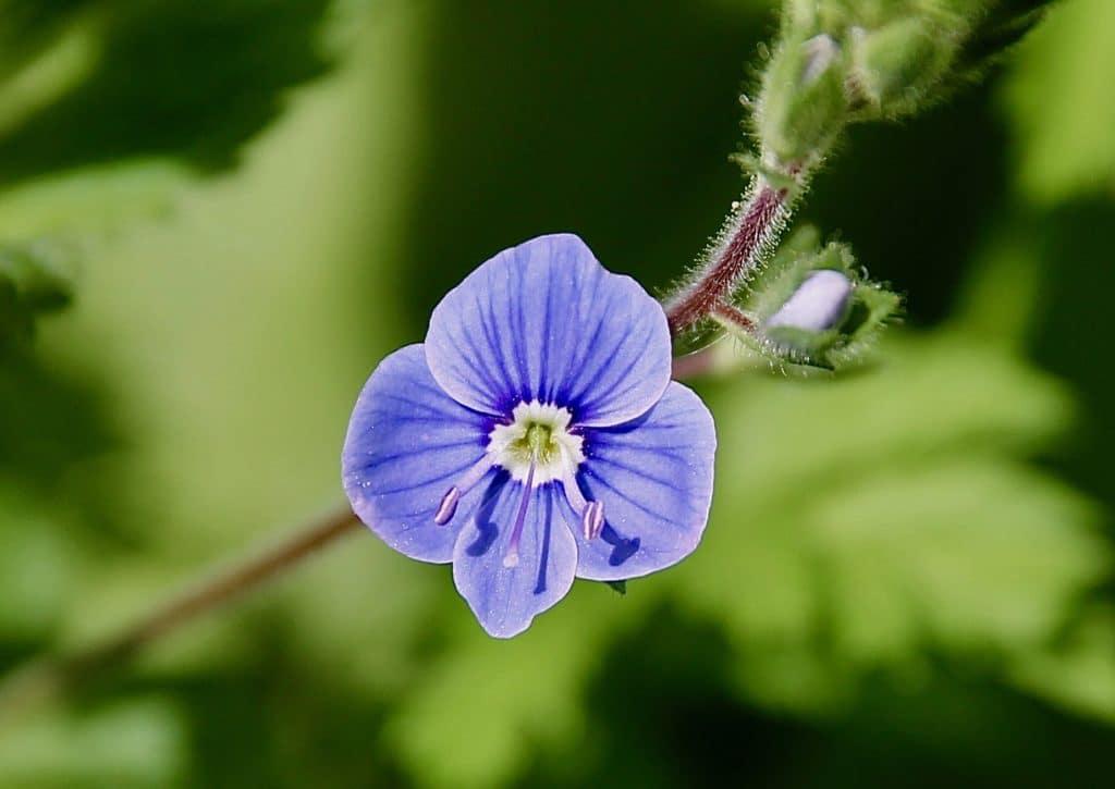 Fleur de Véronique petit-chêne : deux étamines de part et d'autre d'un style unique placé dans l'axe du pétale inférieur, plus étroit et plus pointu que les trois autres / Un jardin dans le Marais poitevin.