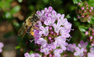 Abeille sur un épi floral de Sarriette / Un jardin dans le Marais poitevin.