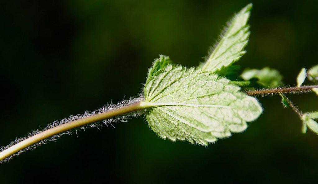 Deux lignes de poils blancs diamétralement opposés sur la tige de la Véronique petit-chêne / Un jardin dans le Marais poitevin.