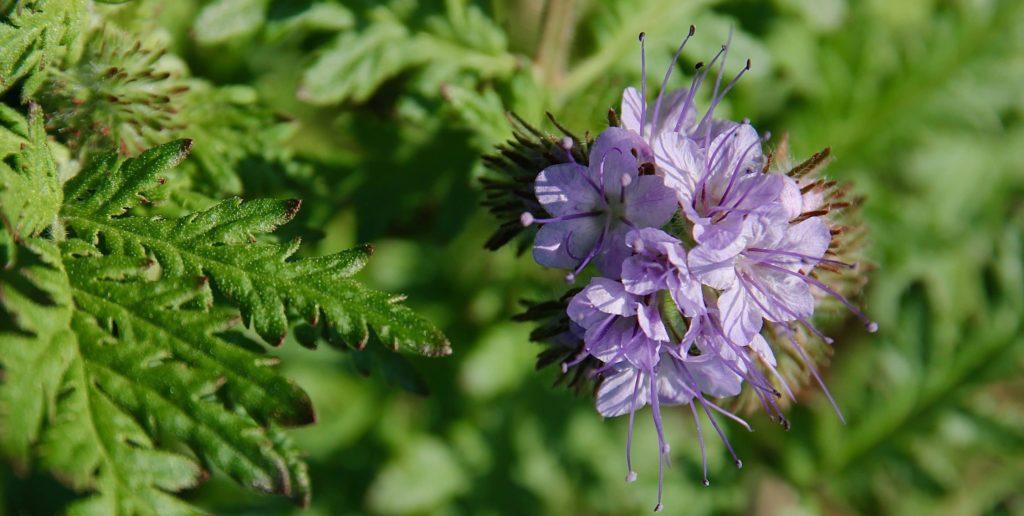 Feuillage et fleurs de la phacélie / Un jardin dans le Marais poitevin.