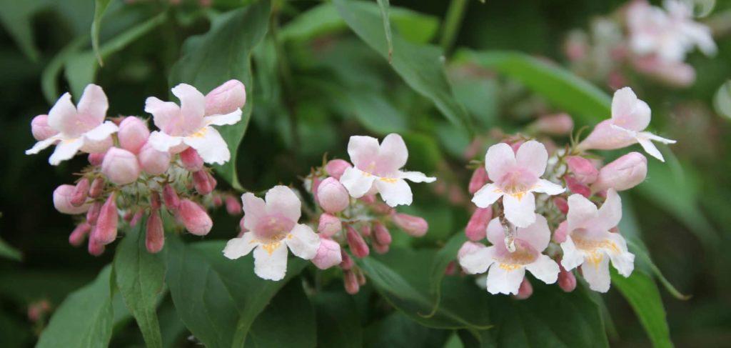 Kolwitzia amabilis, alias le Buisson de beauté / Un jardin dans le Marais poitevin.