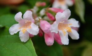 Corolle du Buisson de beauté, semi orangé sur la lèvre inférieure à trois lobes pour guider les pollinisateurs / Un jardin dans le Marais poitevin.