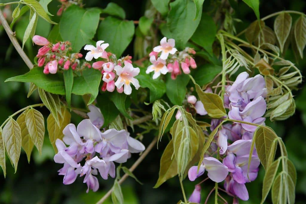 Glycine et Buisson de beauté / Un jardin dans le Marais poitevin.
