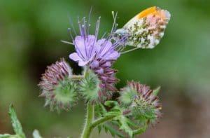Aurore mâle sur fleurs de phacélie / un jardin dans le Marais poitevin.
