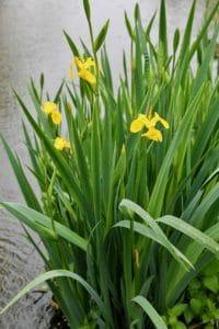 Iris faux-acore, en bordure de Sèvre niortaise / Un jardin dans le Marais poitevin.