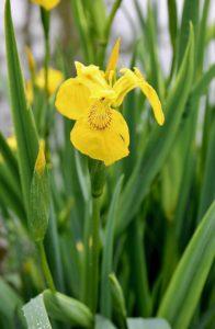 Iris faux-acore, les pieds dans la vase, dans des eaux plutôt peu profondes / Un jardin dans le Marais poitevin.