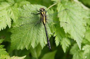 Gomphe à pattes noires, la libellule jaune et noire / Un jardin dans le Marais poitevin.