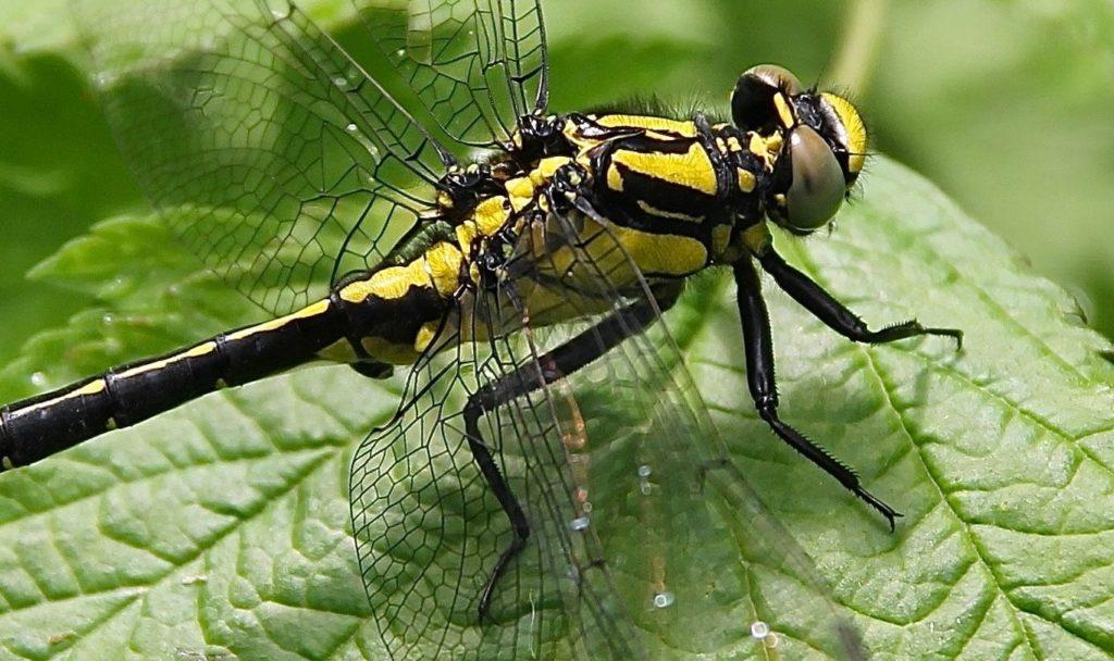 Gomphe à pattes noires, mâle / Un jardin dans le Marais poitevin.