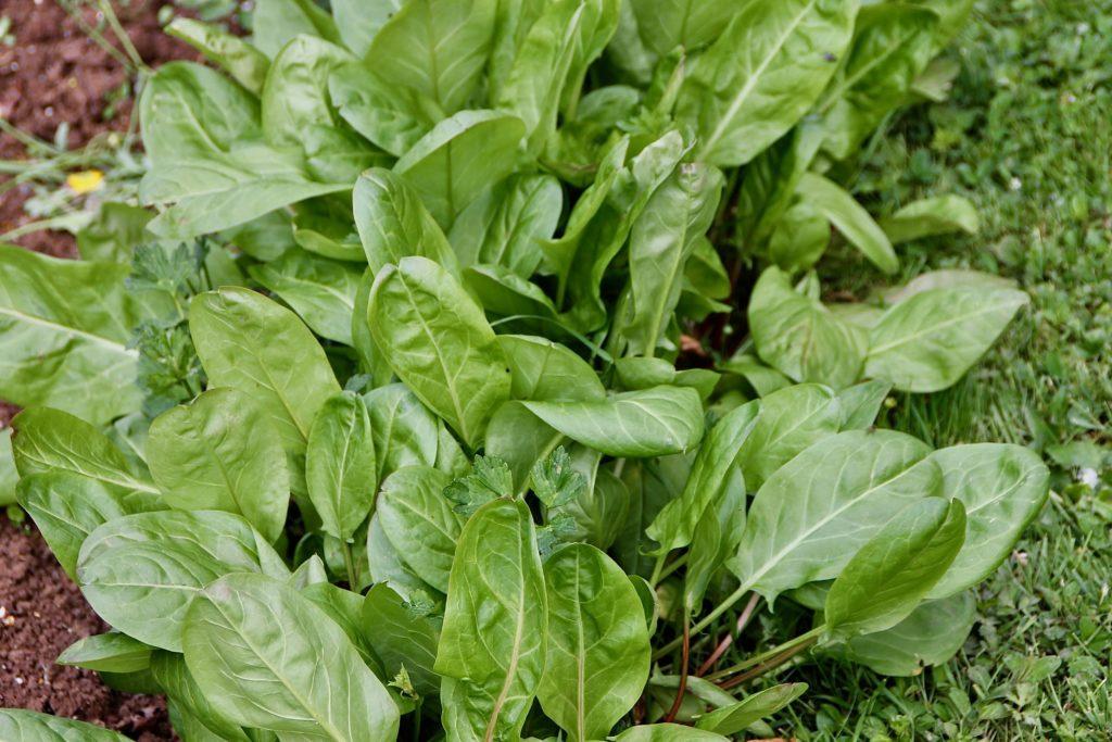 Cueillir scrupuleusement toutes les feuilles atteintes pour casser le cycle de la Mineuse de l'Oseille / Une jardin dans le Marais poitevin.