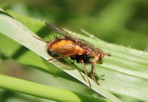 L'Échinomie à pieds roux, abdomen hérissé de quatre rangs de solides soies noires / Un jardin dans le Marais poitevin.
