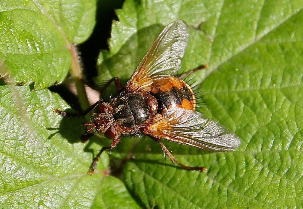 L'Échinomie à pieds roux, abdomen courtaud, orangé, marqué une ligne de losanges noirs / Un jardin dans le Marais poitevin.