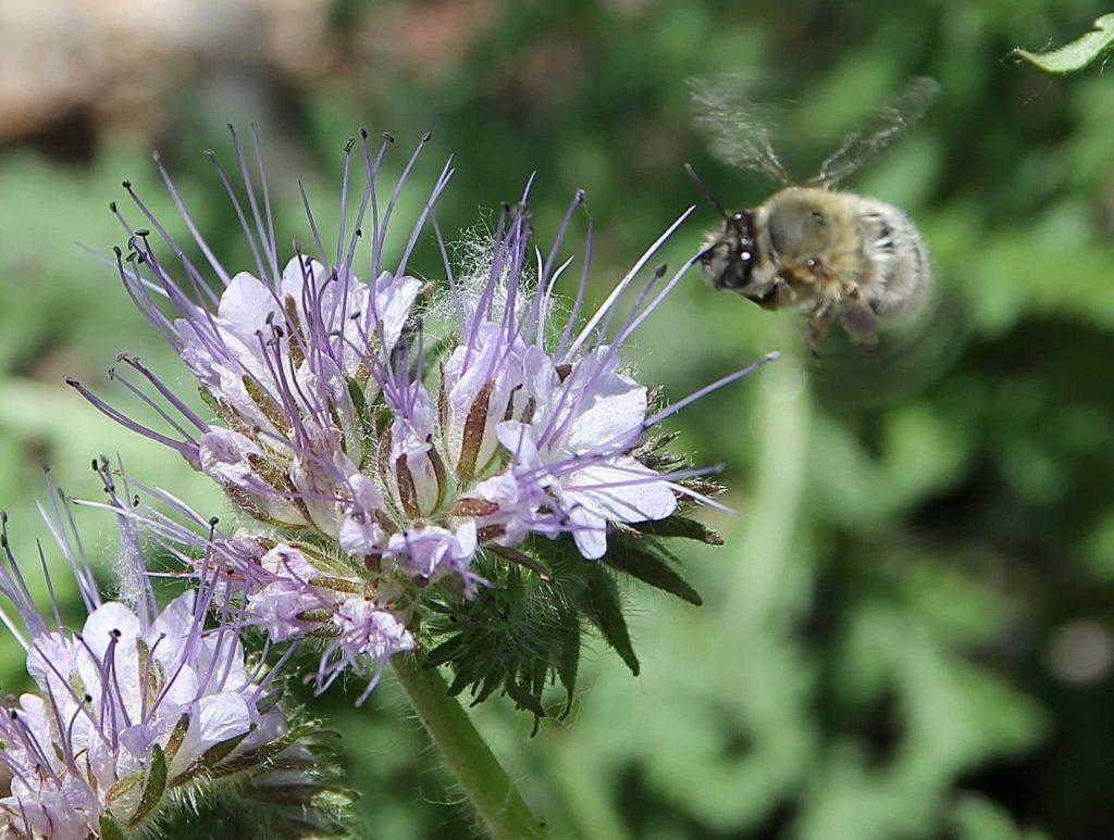 Anthophore plumeuse en approche de la phacélie / Un jardin dans le Marais poitevin.