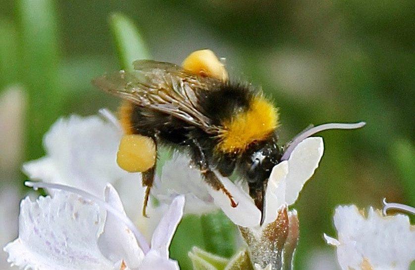 Bourdon des prés, ouvrière, boulettes de pollen accrochés aux pattes arrière, sur fleur de romarin / Un jardin dans le marais poitevin.